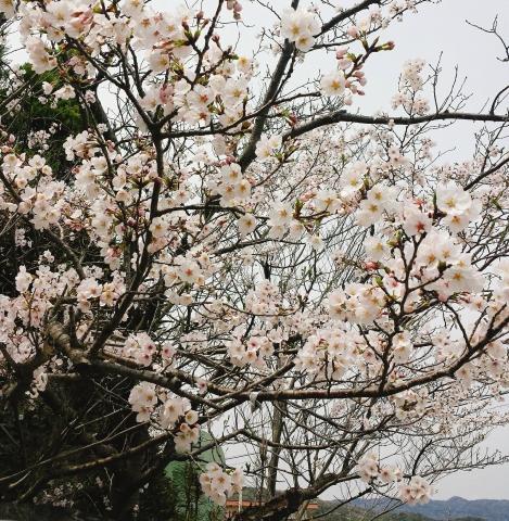 2017-04-09-弁天山桜 (2)