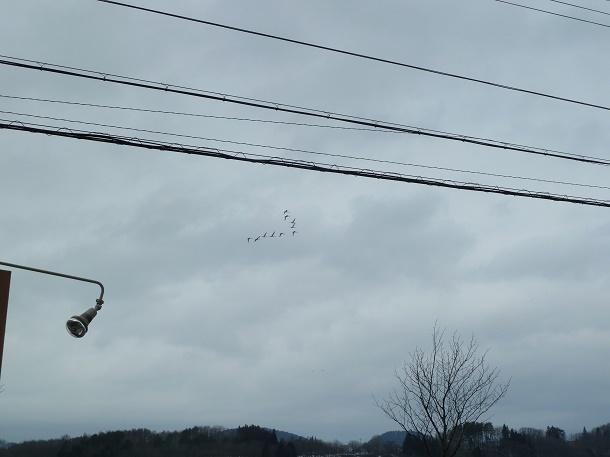 白鳥の飛行