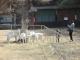 長野牧場のヤギ