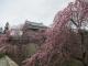 上田城跡公園のシダレザクラ