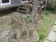 花芽をたくさんつけたフジ