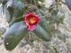 ツバキの開花