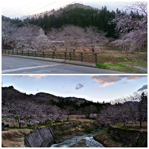 5月2日桜(金山)