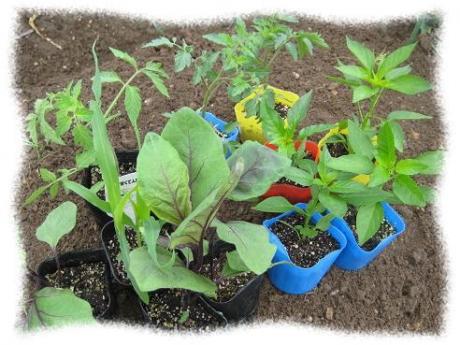 2017年4月20日夏野菜の植え付け