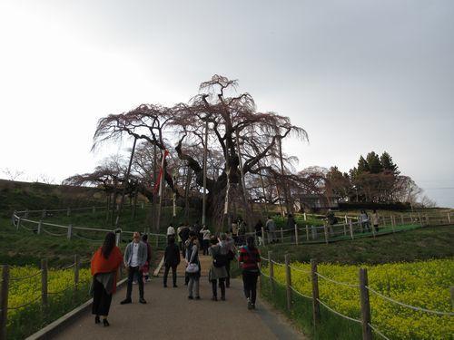 会津の桜4