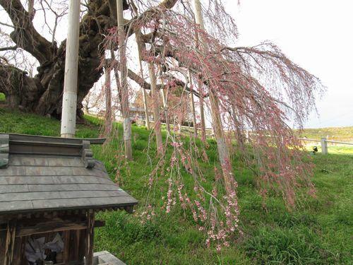 会津の桜7