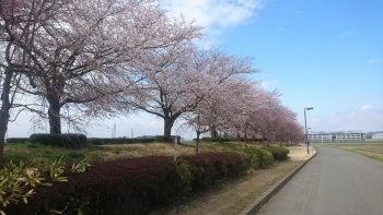 平成29年の桜(^^)/姿川アメニティーパークにて