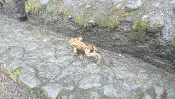 妙義山のカエル