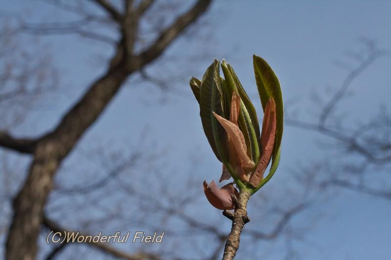 ホウノキの新芽1
