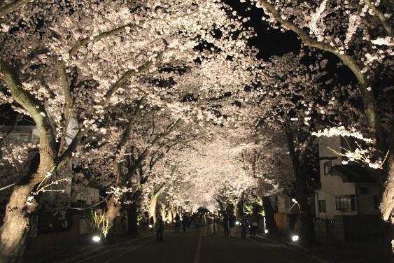 ライトアップされた桜のトンネル