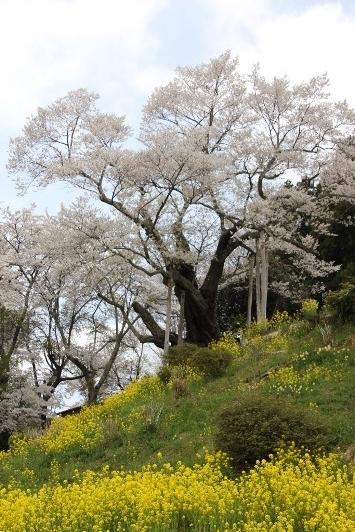 エドヒガン桜の巨木