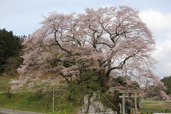 神殿神社の岩桜