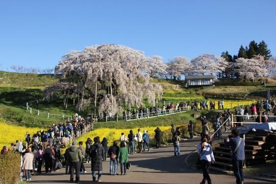 三春滝桜全景