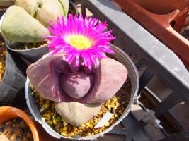 プレイオスピロス・紫帝玉のキレイな紫の花が咲きました♪2017.03.03