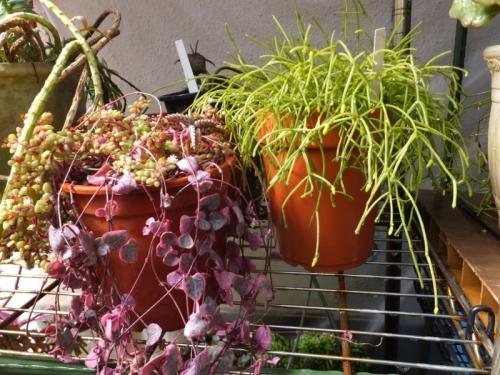 ◆ハートカズラ(セロペギア・ウッディー)、クラッスラ・ブロウメアナ、■リプサリス・枝垂柳花が大きいタイプ2017.03.09