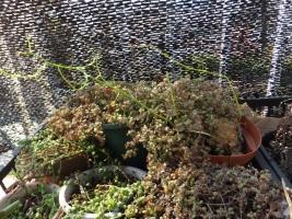 ボウィエア・蒼角殿(Bowiea volubilis)の新蔓♪伸びています♪