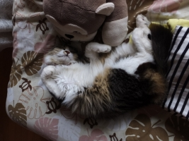 愛猫イズコ♪最近、寝場所が変わり、ぬいぐるみサルちゃんと昼寝中♪2017.04.17