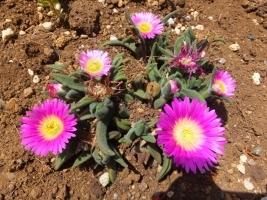 デロスペルマ・サザランディー(Delosperma sutherlandii)沙坐蘭,サザラン・濃ピンク花♪2017.05.02
