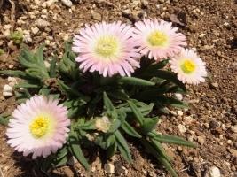 デロスペルマ・サザランディー(Delosperma sutherlandii)沙坐蘭,サザラン・淡いピンク花♪2017.05.02