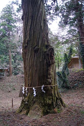 170222丸郷神社大杉⑤