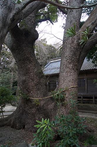 170222富浦 愛宕神社の楠⑤