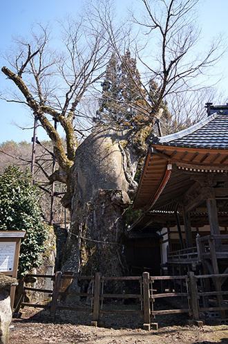 170404根古屋神社の欅①
