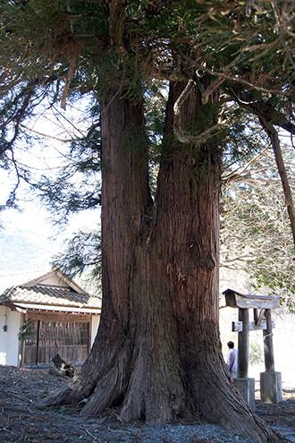 170404富士浅間神社大杉③