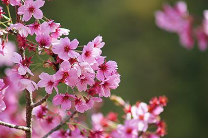 170419植物② 陽光桜 あき
