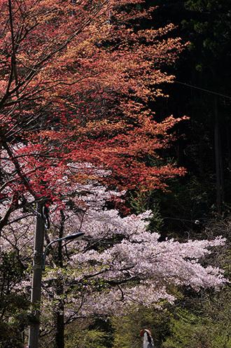 170419植物③ サクラと紅葉