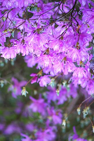170419植物 ムラサキヤシオ2