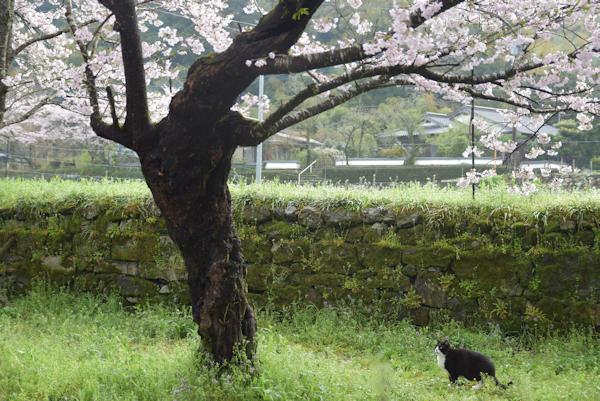 杉の馬場の猫