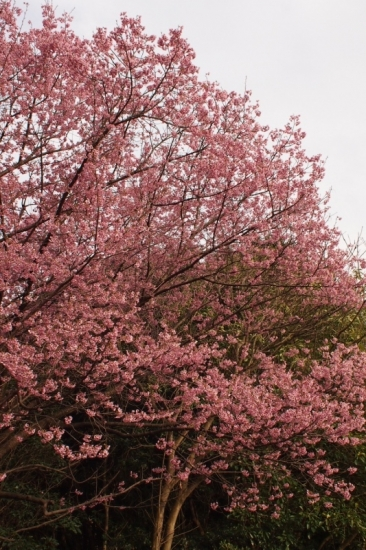 170324_02桜