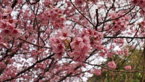 170324_04桜