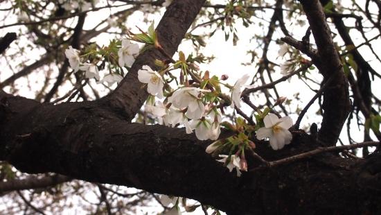 170327_14桜