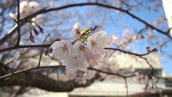 170404_11桜