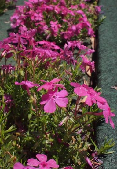 170429_05鹿北の花