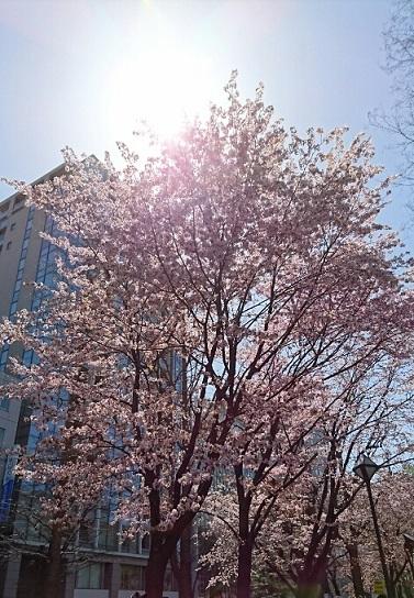 20170503 大通公園 桜①