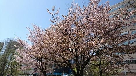 20170503 大通公園 桜③