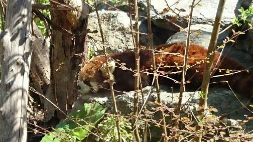 寝てるレッサーパンダ