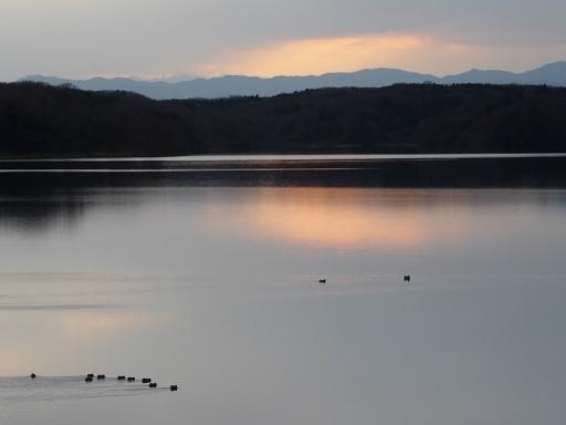 20170218・三寒四温散歩・マガモの湖08