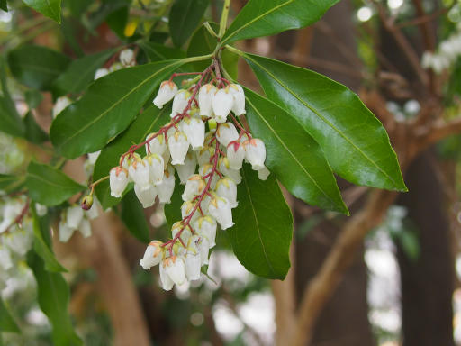 20170318・3月中旬の狭山湖植物03・アセビ