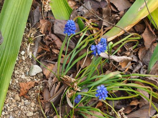 20170318・3月中旬の狭山湖植物07・ムスカリー
