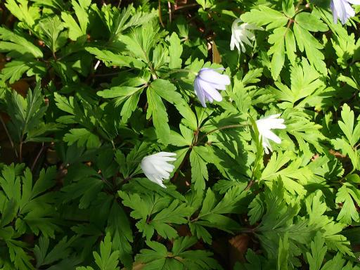 20170325・金仙寺瑞穂植物23・キクザキイチゲ