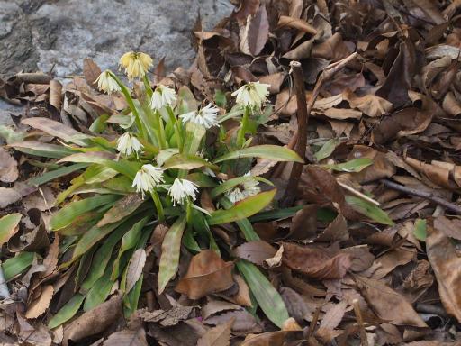 20170325・金仙寺瑞穂植物19・シロバナショウジョウバカマ