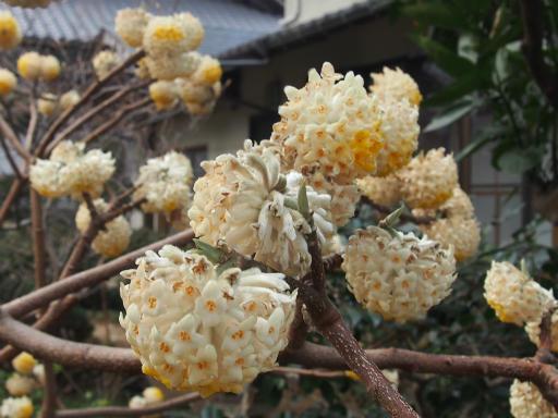 20170325・金仙寺瑞穂1-15・ミツマタ