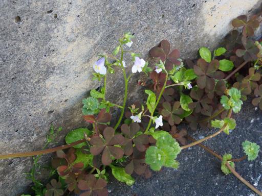 20170416・気まぐれ街歩き植物09・トキワハゼ