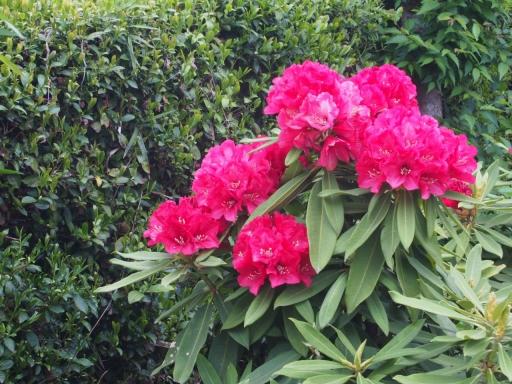 20170503・植物拡大09・セイヨウシャクナゲ
