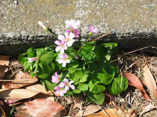 20170503・GW中の散歩植物02・ムラサキカタバミ