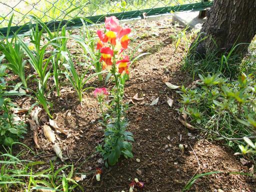 20170503・GW中の散歩植物13・キンギョソウ