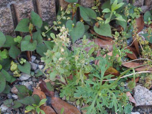20170505・GW中の散歩植物53・チチコグサモドキ